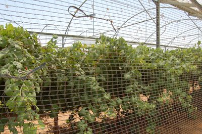 Vineyards in the desert region of Arava highlight Israel's successful approach to innovative water solutions (Photo: James S. Galfund)